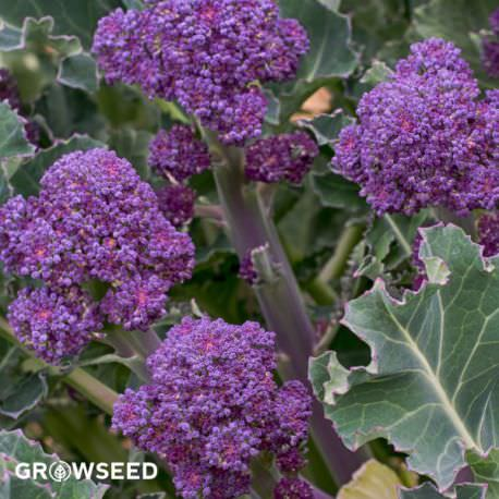 Easy Purple Sprouting Broccoli