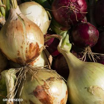 Onion Kit Seed Deals
