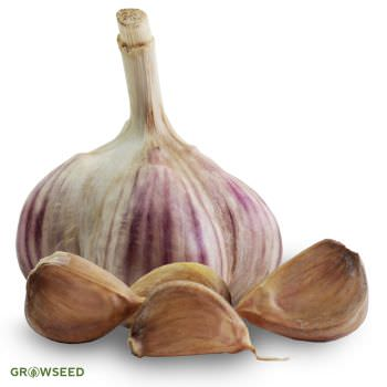 Mikulov Wight Garlic Bulbs