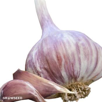 Red Duke Garlic Bulbs