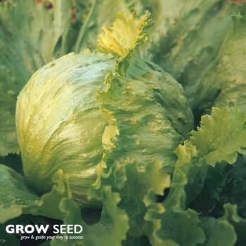 Great Lakes Lettuce Seeds