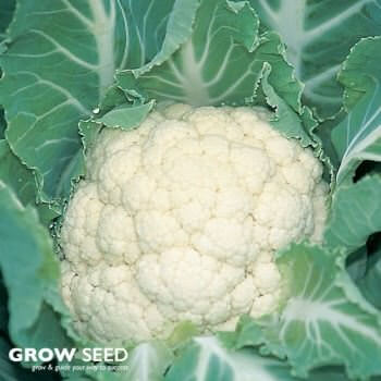 Medallion F1 Cauliflower Seeds