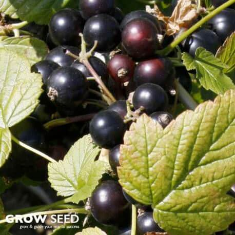 Blackcurrant (Ebony) Bush