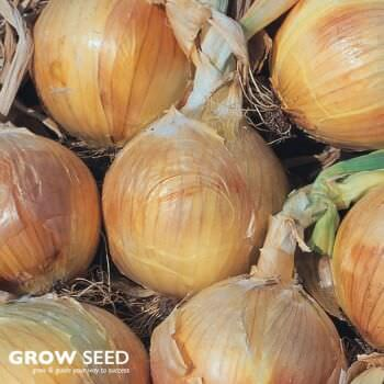 Bedfordshire Champion Onion Seeds