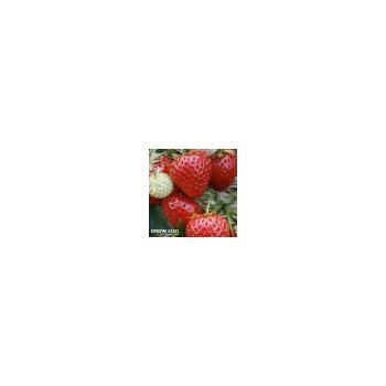 Globo Onion