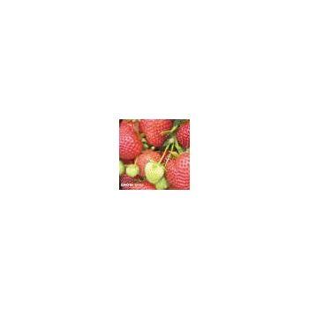 Senshyu Onion