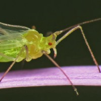 Identifying and Controlling Aphids in Gardens