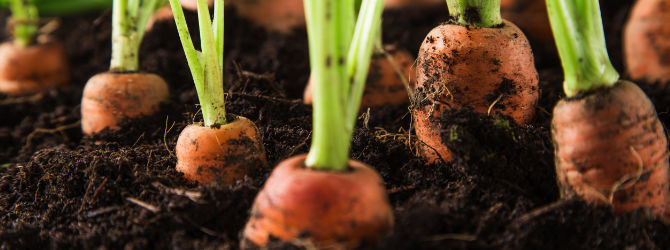 A Simple Way to Grow Your Carrots in Containers