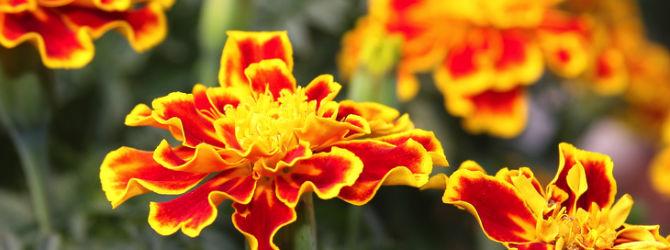 The Magic of Marigolds