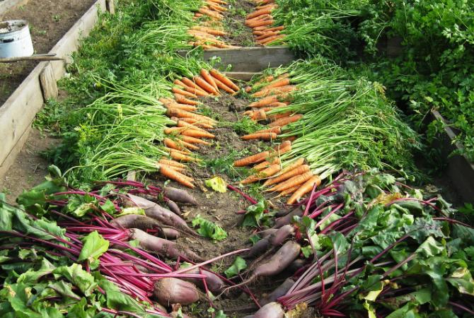 raised-bed-harvest