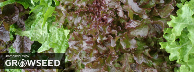 Lettuce can be harvested in under 60 days