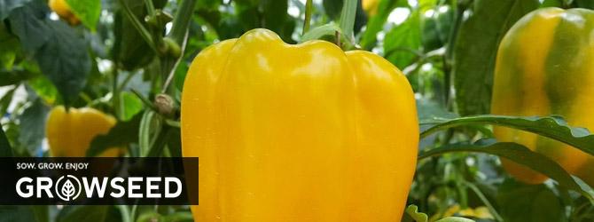 Growing Peppers Under Growlights