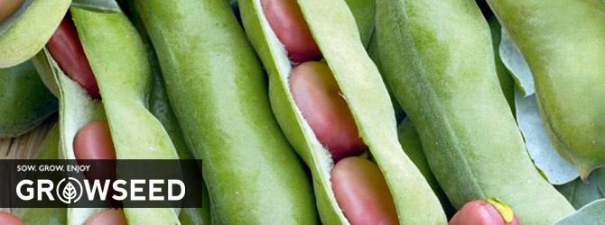 Growing Broad Bean Under Growlights