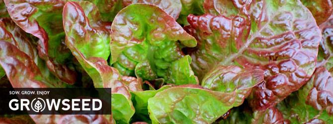 Growing Lettuce Under Growlights