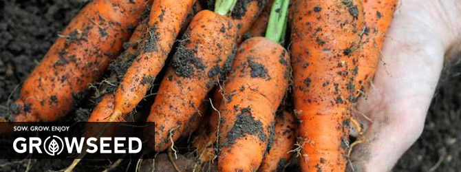 Growing Carrots in Spring
