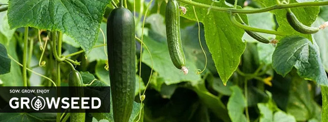 Growing Cucumbers in Spring