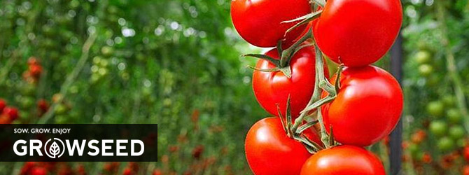 Growing Tomatoes in Spring