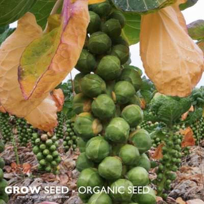 Organic Brussel Sprout Seed
