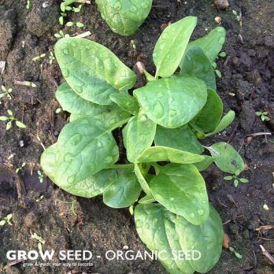 Organic Spinach Seed